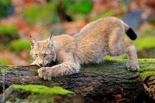 Fototapeta premium Ryś w lesie. Walking Eurasian dziki kot na zielonym omszałym kamieniu, zielone drzewa w tle. Dziki kot w środowisku naturalnym, Czechy, Europa. Scena dzikiej przyrody z natury. Piękne futro zwierząt.