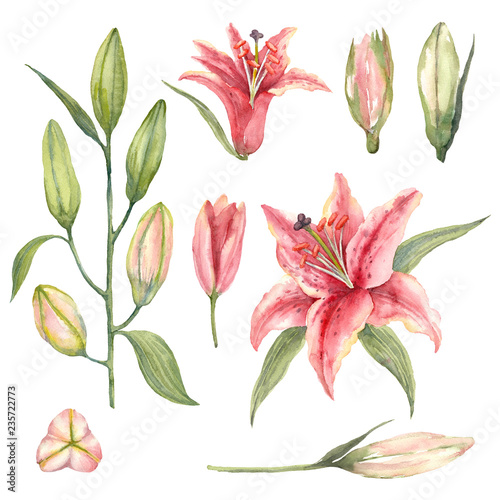 Tablou Canvas Set of Pink Stargazer Lilies and lily buds on a white background.