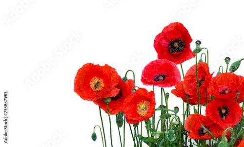 Fototapeta premium Kwiaty czerwone maki (Papaver rhoeas, nazwy zwyczajowe: mak kukurydziany, róża kukurydziana, mak polny, czerwone chwasty, koquelicot) na białym tle z miejscem na tekst.