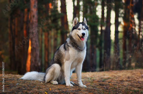 Canvas Print Siberian husky dog in autumn forest