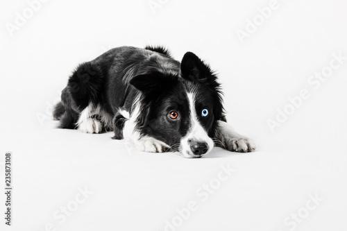Fotografia, Obraz Border collie dog on white background