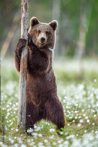 Fototapeta premium Brown bear cub standing on his hind legs in the summer forest on the bog among white flowers. Front view. Natural Habitat. Brown bear, scientific name: Ursus arctos. Summer season.