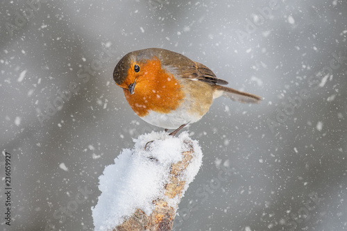 Wallpaper Mural A close up portrait of a robin in the snow