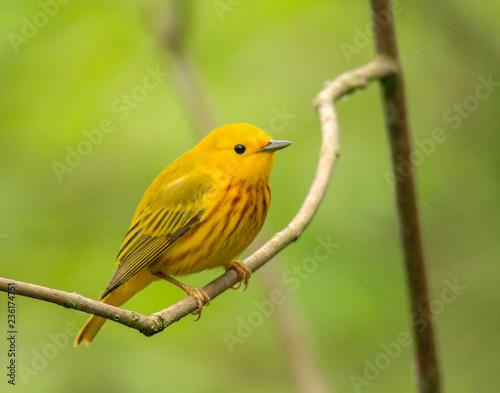 Fotografie, Obraz Yellow Warbler