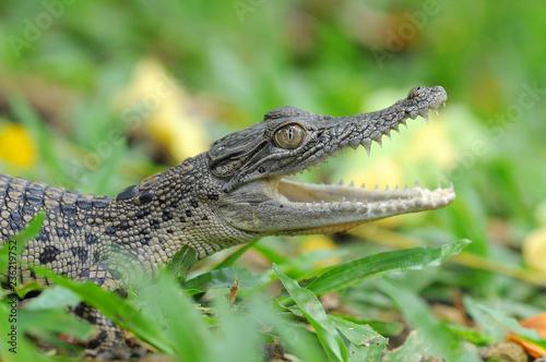 Fototapeta premium krokodyl