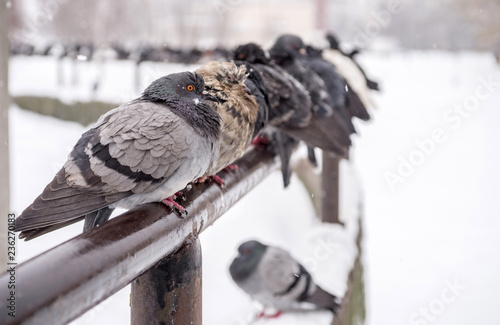 In cold weather, pigeons sit during a snowfall. Selective focus.