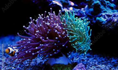 Foto Euphyllia torch colorful LPS coral in Reef aquarium