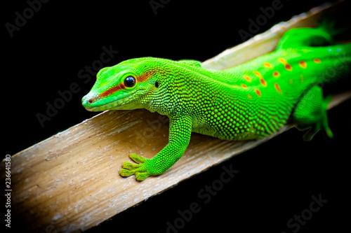 Fotografia Green lizard close-up