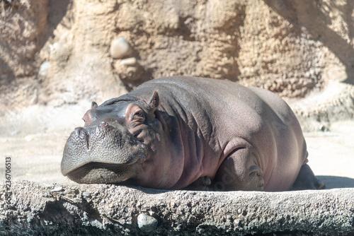 Stampa su Tela hippopotamus in the zoo