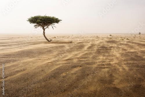 Fotografia Single tree in a sands storm in desert Sahara, Morocco
