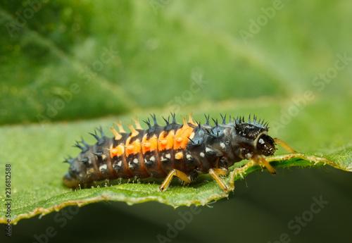 Macro of tiny ladybird larva