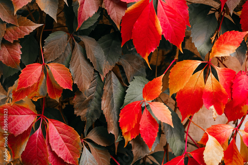 Canvas Background of red and green Virginia creeper known as five-leaved ivy on the wall