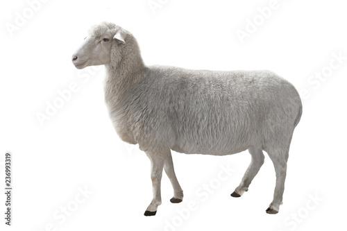 Fotografia sheep isolated on white