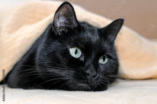 Fototapeta premium Portret czarny kot kłama pod szkocką kratą.