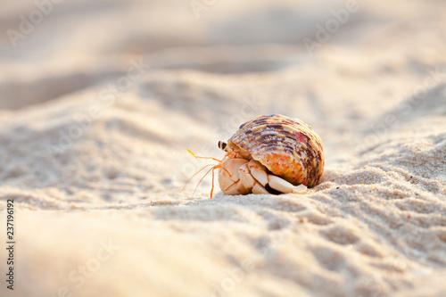 Obraz na płótnie Small hermit crab in the sand of the island Koh Mook, Thailand