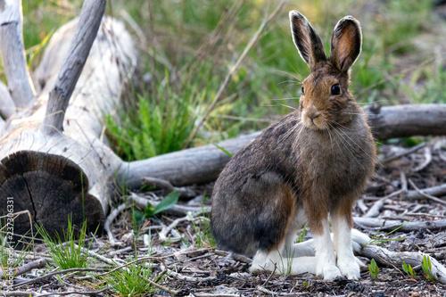 Fotografia, Obraz A wild snowshoe hare in Yellowstone National Park (Wyoming)