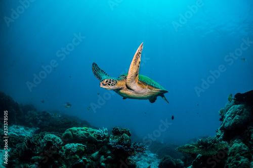 Fotografie, Obraz Green turtle cruising in blue water