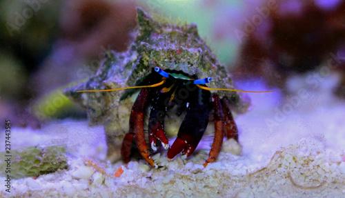 Dwarf Red Tip Hermit Crab (Clibanarius sp.)