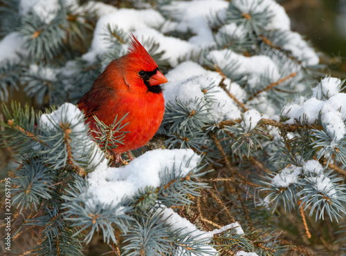 Northern Cardinal Male Perched on Blue Spruce  in Winter Fotobehang