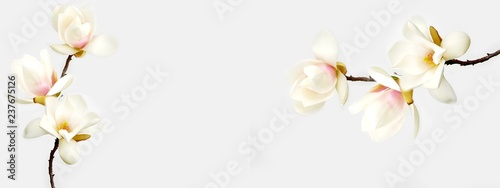 Fotografie, Obraz Beautiful magnolia flower on white background.