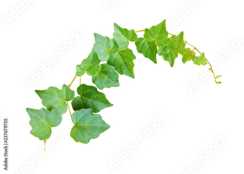 Stampa su Tela Closeup of waved ivy twig with small green leaves