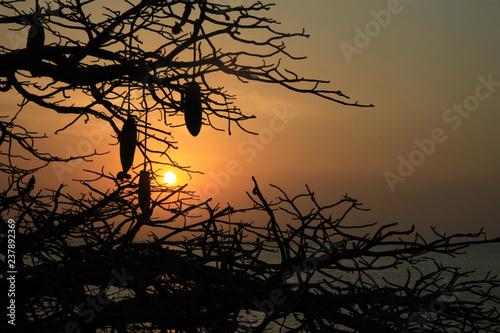 kontury konarów i owoców baobabu na tle zachodzącego słońca w afryce