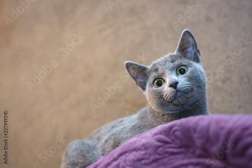 Fototapeta premium Kot rasy Rosyjski niebieski leży na kanapie