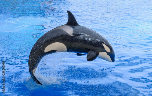 Killer whale, grampus, orca in the jump.
