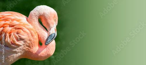 Fototapeta premium Odpoczynkowy różowy Chilijski flaming w zmierzchu świetle przy gładkim zielonym tłem, zbliżenie, szczegóły