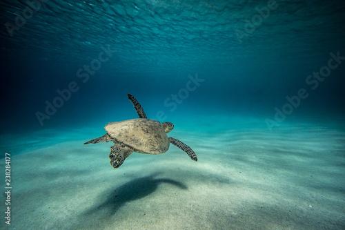 Obraz na plátně turtle solitude