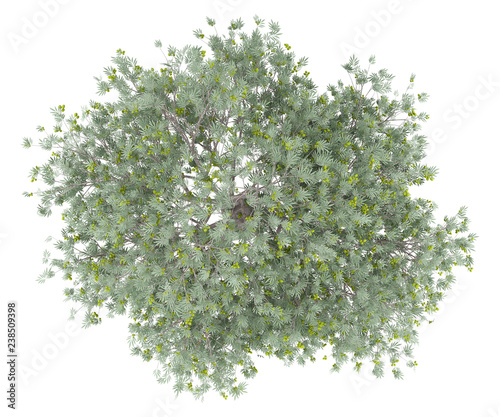 olive tree with olives isolated on white background. top view
