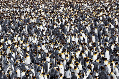 Canvas Print King penguin