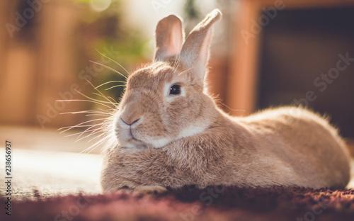 Fototapeta Rufus bunny rabbit relaxes next to shag carpet in warm tones, vintage setting