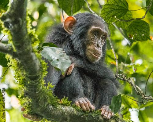 Valokuva Chimpanzee