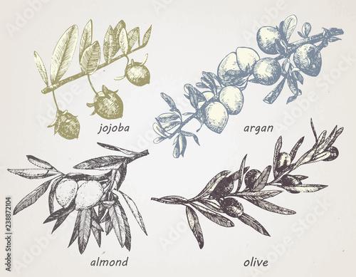 Leinwand Poster Hand-drawn set of plants: olive, argan, almond and jojoba