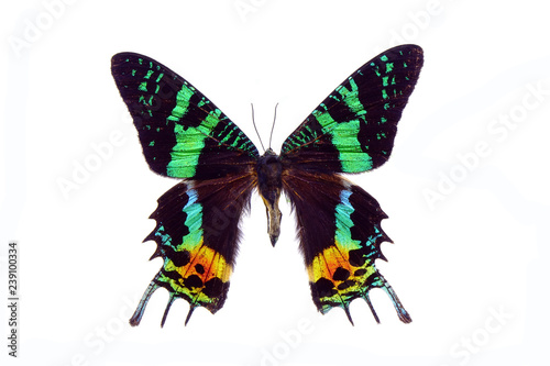 Obraz na płótnie Madagascan Sunset Moth (Chrysiridia rhipheus) , One of world's  most impressive coloful  and beautiful with iridescent parts of the wings