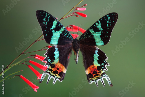Fotografiet Madagascan Sunset Moth (Chrysiridia rhipheus) , One of world's  most impressive coloful  and beautiful with iridescent parts of the wings
