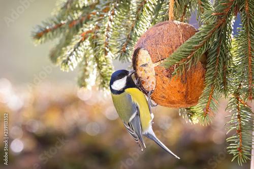 Fototapeta premium Słodka sikora bogatka jedząca karmnik dla ptaków, łój kokosowy przysmaki z tłuszczu w zimie