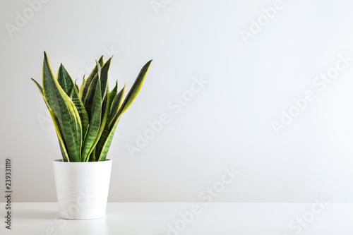 Photo Sansevieria plant in pot on white table