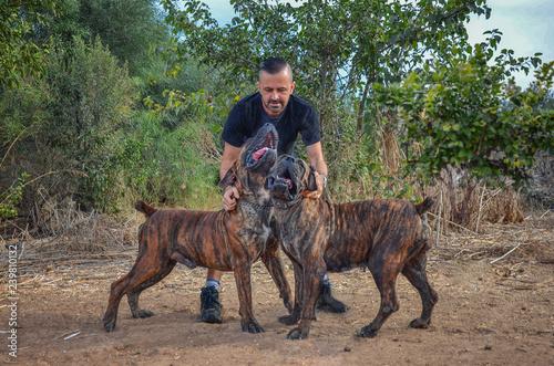 Obraz na płótnie Couple of brindle Boerboel dogs sing to their breeder
