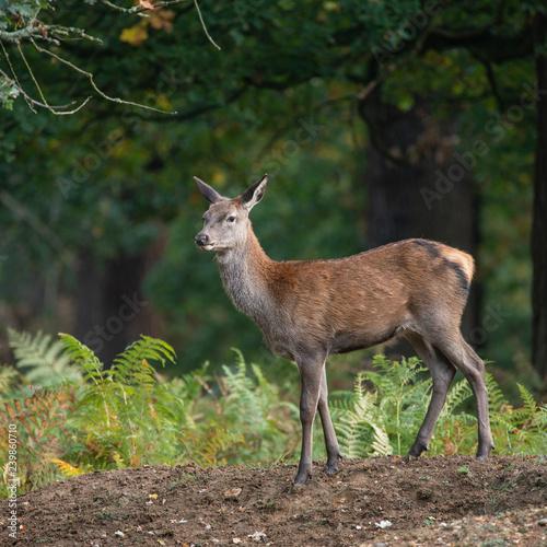 Obraz na plátne Stunning portrait of red deer hind in colorful Autumn forest landscape