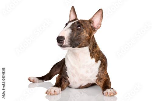 Fotografija miniature bull terrier dog lying down on white background