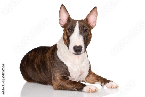 Wallpaper Mural miniature bull terrier dog lying down on white background