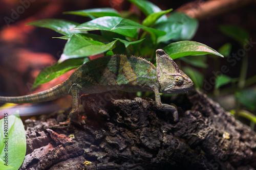 Chameleon hiding under a bush in a terrarium at the zoo