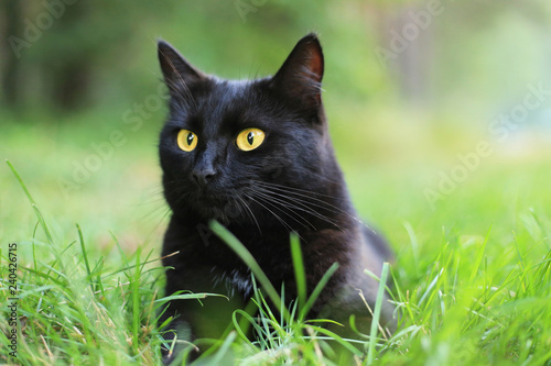 Foto Beautiful bombay black cat portrait with yellow eyes and attentive look in green