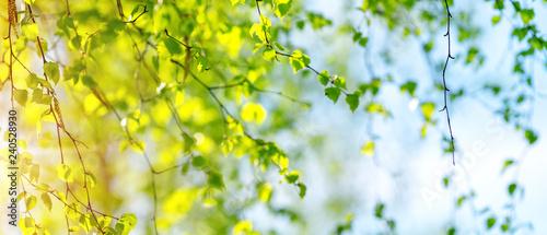 Fotografiet New birch leaves