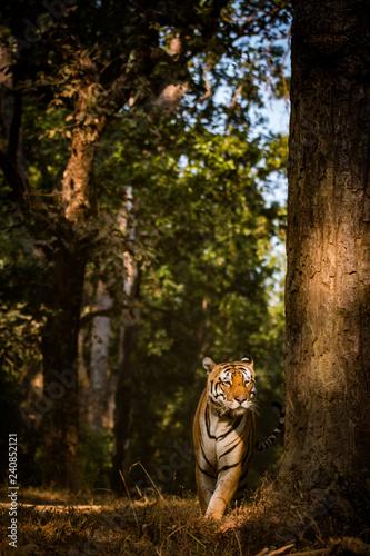 Billede på lærred Habitat shot of bengal tiger walking up to a tree to mark its territory