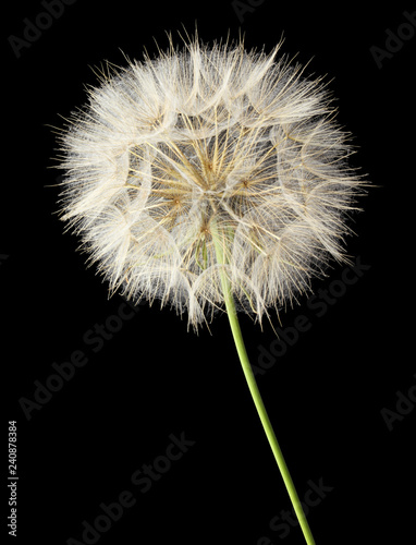 Close-up of a Dandelion isolated on black background. Germany