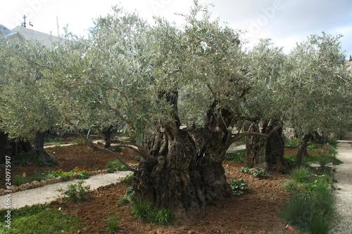 Obraz na plátne Olive bark in the garden of Gethsemane