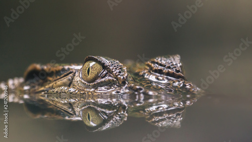 Fotografia Crocodile hiding silently in the water with reflection